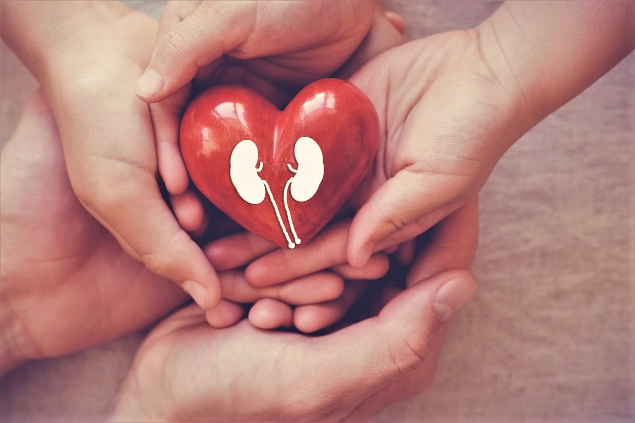 hands holiding red heart with kidney, world kidney day